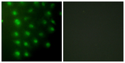 Immunofluorescence analysis of HUVEC cells, using AKAP8 Antibody. The picture on the right is blocked with the synthesized peptide.