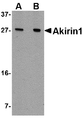 Western blot of Akirin1 in A549 cell lysate with Akirin1 antibody at (A) 1 and (B) 2 ug/ml.