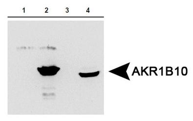AKR1B10 Antibody -AKR1B10 expression in 1) aldose reductase (AR) protein, 2) AKR1B10 protein, 3) 293T cells expressing AR and 4) HCT-8 cells expressing AKR1B10.  This image was taken for the unconjugated form of this product. Other forms have not been tested.