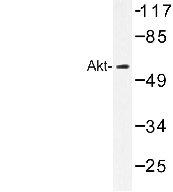 Western blot of Akt (A444) pAb in extracts from NIH/3T3 cells.