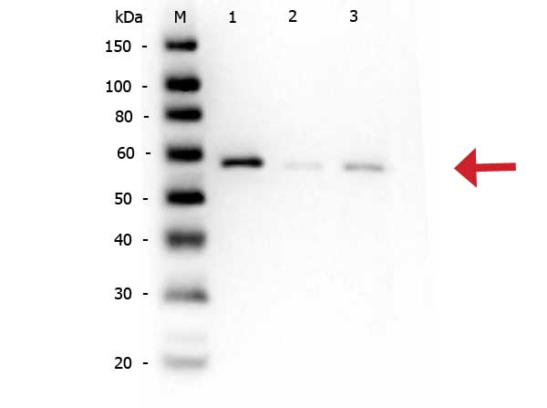 AKT1 + AKT2 + AKT3 Antibody - Western Blot of rabbit anti-AKT pS473 antibody. Lane 1: AKT1 Recombinant Protein Lane 2: AKT1 Mutant Human Recombinant Protein Lane 3: AKT1 (phosphatase treated) Human Recombinant Protein Load: 50 ng per lane. Primary antibody: AKT pS473 antibody at 1:1,000 for overnight at 4°C. Secondary antibody: Peroxidase rabbit secondary antibody at 1:40,000 for 30 min at RT. Block: Blocking Buffer for Fluorescent Western Blotting (MB-070) for 30 min at RT. Predicted/Observed size: ~56 kDa for AKTpS473.