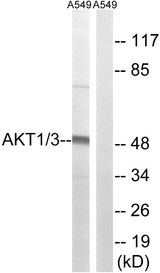 AKT1 + AKT3 Antibody - Western blot analysis of lysates from A549 cells, using AKT1/3 Antibody. The lane on the right is blocked with the synthesized peptide.
