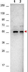 AKT1 Antibody - Western Blot of Mouse anti-AKT antibody. Lane 1: unstimulated NIH/3T3 cell lysates. Lane 2: PDGF stimulated NIH/3T3 cell lysates. Load: 10 µg per lane. Primary antibody: AKT antibody at 1:400 for overnight at 4°C. Secondary antibody: HRP conjugated Gt-a-Mouse IgG was used at a 1:40,000 dilution for 1 h at 4° C with FemtoMax enhanced chemiluminescent reagent in TBS for 2h at RT. Observed size: ~56 kDa for AKT. Other band(s): none.