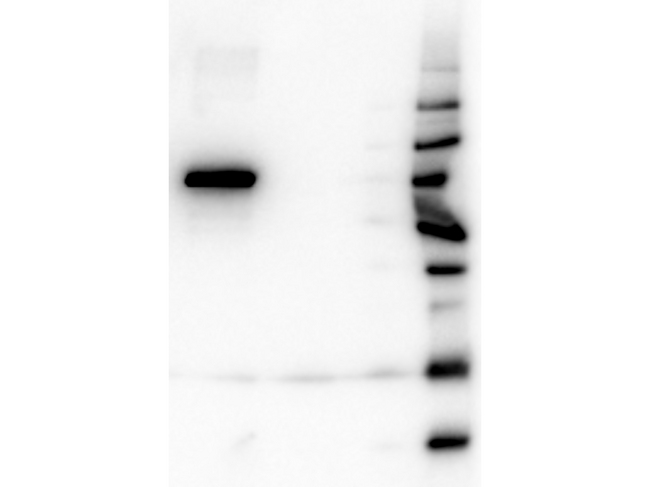 AKT1 Antibody - Western Blot of Mouse anti-AKT1 antibody. Lane 1: GST Tagged recombinant AKT1. Lane 2: GST Tagged recombinant AKT2. Lane 3: GST Tagged recombinant AKT3. Load: 25 ng per lane. Primary antibody: AKT1 antibody at 1:1,000 for overnight at 4°C. Secondary antibody: Peroxidase Rabbit secondary antibody at 1:40,000 for 30 min at RT. Block: MB-070 for 30 min at RT. Predicted/Observed size: 78 kDa for AKT2. Other band(s): none.