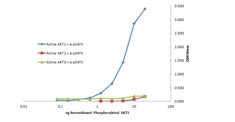 AKT1 Antibody - Plate was coated with monoclonal anti AKT1 antibody followed by incubation with recombinant AKT1, AKT2, AKT3 proteins. Binding was detected with biotinylated monoclonal anti AKT pS473. The signal shows specificity of the monoclonal anti-AKT1 antibody to recombinant isoform AKT1 protein and not the isoform 2 and 3