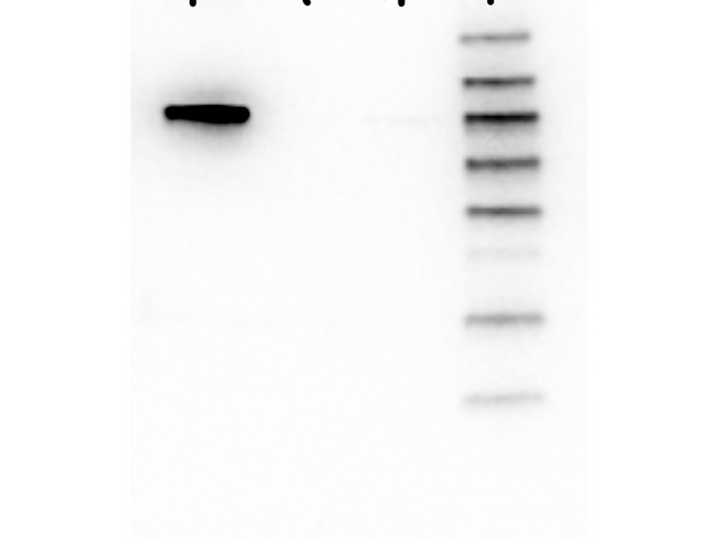AKT1 Antibody - Western Blot of Mouse anti-AKT1 antibody. Lane 1: GST-AKT1. Lane 2: GST-AKT2. Lane 3: GST-AKT3. Load: 25 ng per lane. Primary antibody: AKT1 antibody at 1:1000 for overnight at 4°C. Secondary antibody: Mouse secondary antibody at 1:40,000 for 30 min at RT. Block: 5% BLOTTO overnight at 4°C. Predicted/Observed size: 78 kDa for AKT1. Other band(s): none.