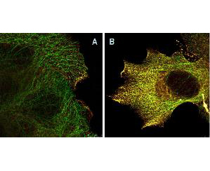 AKT1 Antibody - Immunofluorescence Microscopy of Mouse Anti-AKTpS473 antibody using STED nanoscopy to evaluate AKT activation and migration. Tissue: A431 cells. Antigen retrieval: Panel A: serum starved,unstimulated cells. Panel B: serum starved, EGF stimulated for 15 mins. A massive increase in AKT-pS473 activation, as measured by intensity signal, peaked at 15 minutes and was associated with depolymerized tubulin. Staining: Panel A shows STED data (AKT-pS473, red channel) collected simultaneously with confocal signal (a-tubulin, green channel). Upon stimulation of cells with EGF, a rapid activation of AKT is observed (Panel B) along with a coincident change in the tubulin organization (yellow signal), as well as an extensive cell shape-change (cell membrane folding) and accumulation of AKTpS473 at the cell periphery.