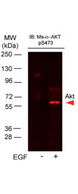 AKT1 Antibody - Western Blot of Mouse Anti-AKTpS473 antibody. Lane 1: A431 cells. Lane 2: A431 cells stimulated for 15 min with EGF. Load: 35 µg per lane. Primary antibody: AKTpS473 antibody at 1:400 for overnight at 4°C. Secondary antibody: DyLight649 Conjugated Anti-AKT pS473 Monoclonal Antibody p/n 200-343-268 at 1:10,000 for 45 min at RT. Block: Blocking Buffer for Fluorescent Western Blotting p/n MB-070 overnight at 4°C. Predicted/Observed size: 56kDa. Other band(s): none.