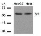 Western blot of extracts from HepG2 and HeLa cells using Akt(Ab-308) antibody.