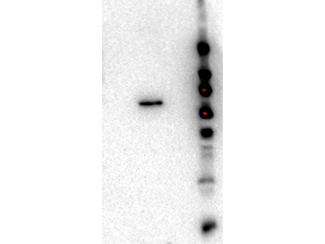 Western Blot of Rat monoclonal anti-AKT2 antibody. Lane 1: GST-AKT1. Lane 2: GST-AKT2. Lane 3: GST-AKT3. Load: 50 ng per lane. Primary antibody: anti-AKT2 antibody at 1:1000 for overnight at 4°C. Secondary antibody: Goat anti-rat secondary antibody at 1:40,000 for 45 min at RT. Block: 5% BLOTTO overnight at 4°C. Predicted/Observed size: 85 kDa for GST-AKT2.