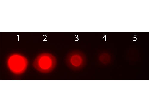 AKT3 Antibody - Dot Blot of AKT3 Phycoerythrin Conjugated Monoclonal Antibody. Antigen: AKT3 non-phosphorylated. Load: Lane 1: 50 ng. Lane 2: 16.67 ng. Lane 3: 5.56 ng. Lane 4: 1.85 ng. Lane 5: 0.62 ng. Primary antibody: none. Secondary antibody: AKT3 Phycoerythrin Conjugated Monoclonal Antibody at 1:1,000 in MB-070 for 60 min at RT. Block: MB-070 for 60 min at RT.
