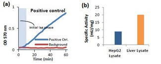 (a) Measurement of alanine aminotransferase activity in Positive Control and (b) HepG2 Cells (10 µg) and Liver Lysate (15 µg).