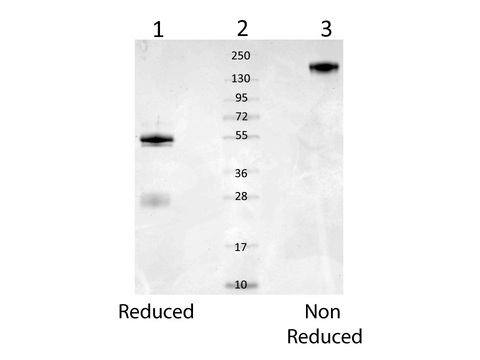 Rb-a-Mouse Serum Albumin - SDS-PAGE. Coomassie stained SDS-PAGE of 1.0 ug of Rb-a-Mouse Serum Albumin separated in a 4-20% gradient gel under reducing conditions (lane 1) and non-reducing conditions (lane 3). Molecular weight standards are shown in lane 2. Analysis by SDS-PAGE shows a banding pattern consistent with purified Rabbit IgG.