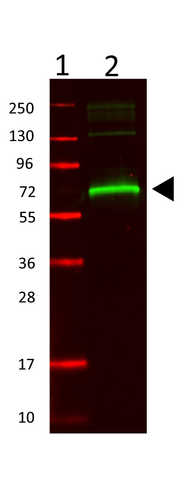 Anti-MSA Antibody - Western Blot. Western Blot showing detection of mouse serum albumin (0.1 ug) in lane 2. MW markers are in lane 1. Protein was run on a 4-20% gel, then transferred to 0.45 micron nitrocellulose. After blocking with 1% BSA-TTBS (MB-013, diluted to 1X) 30 min at 20°C, primary antibody was used at 1:1000 overnight at 4°C. Anti-Rabbit IgG (H&L) (GOAT) antibody IRDye800CW (p/n secondary antibody was used at 1:20000 in Blocking Buffer for Fluorescent Western Blot (p/n MB-070) and imaged on the LiCor Odyssey imaging system. Arrow indicates correct 69 kD molecular weight position expected for mouse serum albumin.