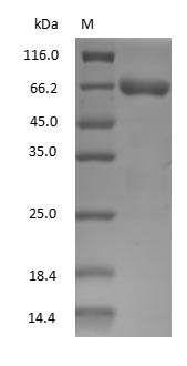 ALB / Serum Albumin Protein - (Tris-Glycine gel) Discontinuous SDS-PAGE (reduced) with 5% enrichment gel and 15% separation gel.