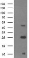 Negative control E. coli lysate (Left lane) or E. coli lysate containing recombinant protein fragment for human ALDH1A3 (NP_000648) gene (the fusion of amino acids 1-100 and 413-512) (Right lane). Equivalent amounts (5 ug per lane) were separated by SDS-PAGE and then immunoblotted with anti-ALDH1A3. .