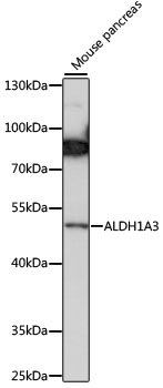 ALDH1A3 Antibody - Western blot analysis of extracts of mouse pancreas, using ALDH1A3 antibody at 1:1000 dilution. The secondary antibody used was an HRP Goat Anti-Rabbit IgG (H+L) at 1:10000 dilution. Lysates were loaded 25ug per lane and 3% nonfat dry milk in TBST was used for blocking. An ECL Kit was used for detection and the exposure time was 60s.
