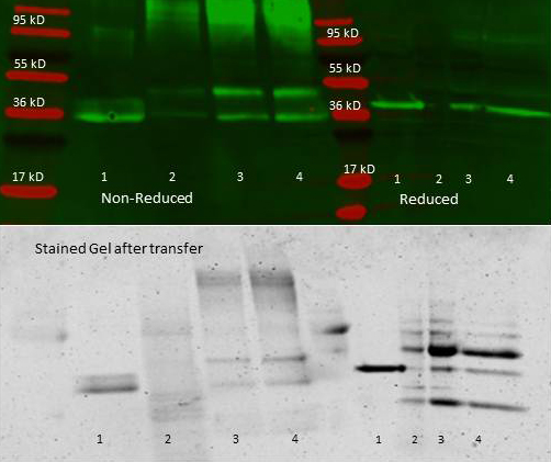 ALDOA / Aldolase A Antibody - Anti aldolase antibody – Immunoprecipitation and Western Blot. 300 µl aliquots of whole anti-aldolase antiserum (100-1141) were used to precipitate varying amounts of purified aldolase and precipitates with controls were compared by SDS-PAGE and Western blot. Samples shown in the image are: 1. Purified aldolase 2. 300 µl antiserum with no antigen (negative control) 3. 300 µl antiserum with ~100 µl aldolase (2.5 mg/ml) 4. 300 µl antiserum with ~200 µl aldolase (2.5 mg/ml) For the precipitation, 300 ul of antiserum and an equal volume of aldolase antigen in PBS was incubated ~24 hrs at 4°C, centrifuged for 6 minutes at 13K RPM, washed once with PBS, centrifuged and dissolved in 60 ul 0.1 N NaOH. 90 ul of PBS was added, the sample was divided in 2 portions, and an equal volume of reducing (+4% BME) or non-reducing 2X sample buffer was added. The reduced samples were boiled for five minutes, and all samples were run at 140 V for ~45 minutes on a 4-20% tris/glycine gradient gel. Gel was stained, destained and imaged(see attached) using standard protocols. Precipitation of aldolase was confirmed by comparison of increasing amounts of antigen with the control protein by SDS PAGE and observation of a 40-45 kD MW band corresponding to Aldolase. Additional higher and lower molecular weight bands correspond to serum proteins.