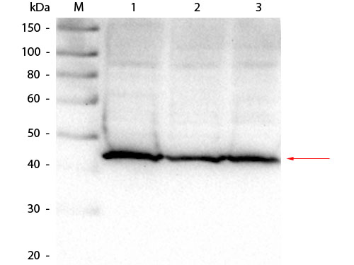 ALDOA / Aldolase A Antibody - Western Blot of Goat anti-Aldolase Antibody. Lane 1: Hela lysate. Lane 2: HEK293 lysate. Lane 3: Jurkat lysate. Load: 25 µg per lane. Primary antibody: Goat anti-Aldolase Antibody at 1:1,000 overnight at 4°C. Secondary antibody: HRP Dk-a-Gt IgG secondary antibody at 1:40,000 for 30 min at RT. Block: MB-070 for 30 min at RT. Predicted/Observed size: 39 kDa, 41 kDa for Aldolase.