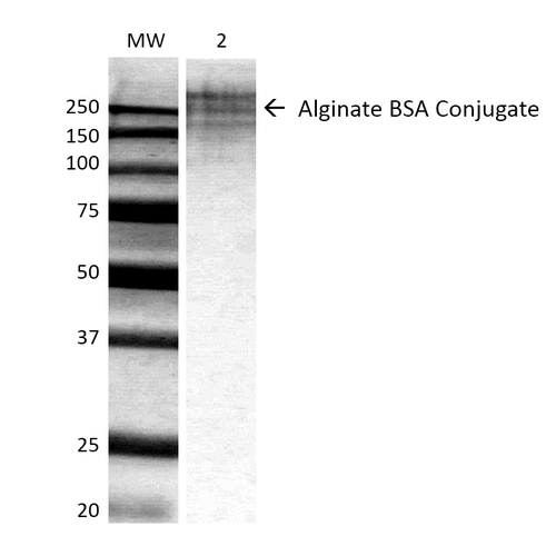 Alginate Antibody - Western Blot analysis of ALL BSA-Alginate Conjugate showing detection of ~250 kDa Alginate protein using Mouse Anti-Alginate Monoclonal Antibody, Clone 3G4-1F5. Lane 1: MW ladder. Lane 2: 0.625ug BSA:Alginate. Load: 0.625 µg. Block: 5% milk + TBST for 1 hour at RT. Primary Antibody: Mouse Anti-Alginate Monoclonal Antibody  at 1:500 for 1 hour at RT. Secondary Antibody: HRP Goat Anti-Mouse at 1:100 for 1 hour at RT. Color Development: TMB solution for 2 min at RT. Predicted/Observed Size: ~250 kDa.
