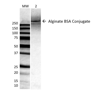 Alginate Antibody - Western Blot analysis of ALL BSA-Alginate Conjugate showing detection of ~250 kDa Alginate protein using Mouse Anti-Alginate Monoclonal Antibody, Clone 4B10-1C5. Lane 1: MW ladder. Lane 2: 0.625ug BSA:Alginate. Load: 0.625 µg. Block: 5% milk + TBST for 1 hour at RT. Primary Antibody: Mouse Anti-Alginate Monoclonal Antibody  at 1:500 for 1 hour at RT. Secondary Antibody: HRP Goat Anti-Mouse at 1:100 for 1 hour at RT. Color Development: TMB solution for 2 min at RT. Predicted/Observed Size: ~250 kDa.