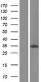 ALKBH4 Protein - Western validation with an anti-DDK antibody * L: Control HEK293 lysate R: Over-expression lysate