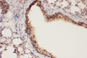 ALOX15 antibody IHC-paraffin: Mouse Lung Tissue.
