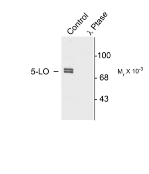 ALOX5 / 5-LOX Antibody - Western blot of rat cortex lysate showing specific immunolabeling of the ~80k doublet of 5-LO phosphorylated at Ser523 (Control). The phosphospecificity of this labeling is shown in the second lane (lambda-phosphatase: l-Ptase). The blot is identical to the control except that it was incubated in l-Ptase (1200 units for 30 min) before being exposed to the Anti-Ser523 5-LO. The immunolabeling is completely eliminated by treatment with l-Ptase.