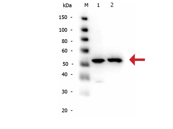 Alpha Tubulin Antibody - Western Blot of rabbit anti-alpha-Tubulin antibody. Lane 1: HeLa WCL. Lane 2: NIH/3T3 WCL. Load: 10 µg per lane. Primary antibody: alpha-Tubulin antibody at 1:1,000 for overnight at 4°C. Secondary antibody: Peroxidase rabbit secondary antibody at 1:40,000 for 30 min at RT. Block: Blocking Buffer for Fluorescent Western Blotting for 30 min at RT. Predicted/Observed size: 50 kDa, 50 kDa for alpha-Tubulin. Other band(s): N/A.