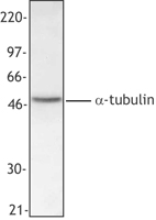 Alpha Tubulin Antibody - HepG2 cell extract was resolved by electrophoresis, transferred to nitrocellulose and probed with monoclonal antibody against a-tubulin. Proteins were visualized using a goat anti-mouse secondary conjugated to HRP and a chemiluminescence detection system.