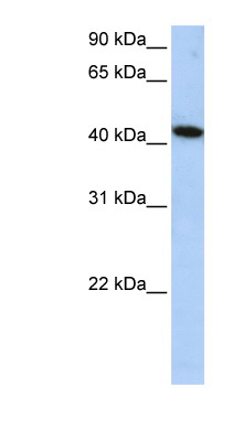 ICA1L antibody LS-C102440 Western blot of HepG2 cell lysate.  This image was taken for the unconjugated form of this product. Other forms have not been tested.