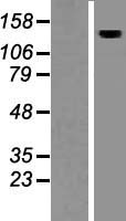 AMBRA1 Protein - Western validation with an anti-DDK antibody * L: Control HEK293 lysate R: Over-expression lysate
