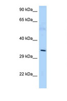 AMD / AMD1 Antibody - AMD1 antibody Western blot of Mouse Thymus lysate. Antibody concentration 1 ug/ml.  This image was taken for the unconjugated form of this product. Other forms have not been tested.