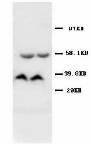 AMD / AMD1 Antibody -  This image was taken for the unconjugated form of this product. Other forms have not been tested.