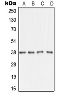 AMD / AMD1 Antibody - Western blot analysis of AMD1 expression in A431 (A); HepG2 (B); SP2/0 (C); H9C2 (D) whole cell lysates.