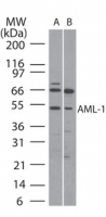 Western blot ofAML-1 in (A) human Ramos and(B) mouse Raw cell lysate using antibody at5 ug/ml.