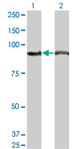 Western blot of AMPD2 expression in transfected 293T cell line by AMPD2 monoclonal antibody (M04), clone 2G8.