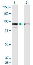 Western blot of AMPD2 expression in transfected 293T cell line by AMPD2 monoclonal antibody (M09), clone 6A8.