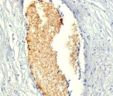 AMPD3 Antibody - Formalin-fixed, paraffin-embedded human placenta stained with AMPD3 antibody (AMPD3/901).  This image was taken for the unmodified form of this product. Other forms have not been tested.