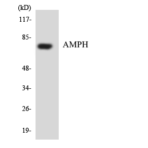 Western blot analysis of the lysates from HUVECcells using AMPH antibody.