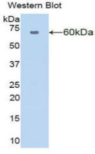 AMY1A / Salivary Amylase Antibody - Western blot of recombinant AMY1A / Salivary Amylase.  This image was taken for the unconjugated form of this product. Other forms have not been tested.