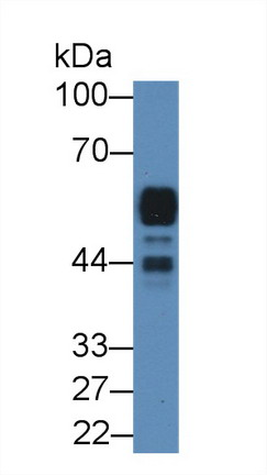 Western Blot; Sample: Rat Pancreas lysate; Primary Ab: 2µg/mL Rabbit Anti-Rat AMY2 Antibody Second Ab: 0.2µg/mL HRP-Linked Caprine Anti-Rabbit IgG Polyclonal Antibody