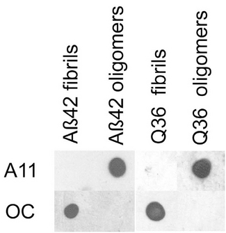 Amyloid Fibrils Antibody - Dot blot analysis of ABeta42 and polyQ36 prefibrillar oligomers and fibrils. ABeta42 and polyQ fibrils only stain with OC serum), while ABeta42 and polyQ prefibrillar oligomers only react with A11.  This image was taken for the unconjugated form of this product. Other forms have not been tested.