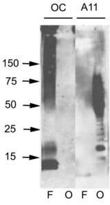 Amyloid Fibrils Antibody - Western blot analysis of ABeta42 fibrils and prefibrillar oligomers. ABeta42 fibrils (F) and prefibrillar oligomers (O) were run on SDS polyacrylamide gels, transferred to nitrocellulose and probed with OC and A11 antibodies.  This image was taken for the unconjugated form of this product. Other forms have not been tested.