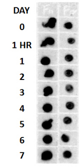 Amyloid Fibrils Antibody - Beta Amyloid HEPES-NaCl aggregation, showing 1:500 (L) and 1:5000 ® time lapse dot blot.  This image was taken for the unconjugated form of this product. Other forms have not been tested.