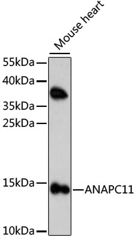 ANAPC11 / APC11 Antibody - Western blot analysis of extracts of mouse heart, using ANAPC11 antibody at 1:1000 dilution. The secondary antibody used was an HRP Goat Anti-Rabbit IgG (H+L) at 1:10000 dilution. Lysates were loaded 25ug per lane and 3% nonfat dry milk in TBST was used for blocking. An ECL Kit was used for detection and the exposure time was 120s.