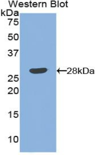 Western blot of recombinant ANGPT1 / ANG1 / Angiopoietin-1.  This image was taken for the unconjugated form of this product. Other forms have not been tested.