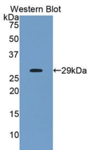 Western blot of recombinant ANGPTL2 / ARP2.  This image was taken for the unconjugated form of this product. Other forms have not been tested.
