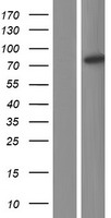 ANKHD1 Protein - Western validation with an anti-DDK antibody * L: Control HEK293 lysate R: Over-expression lysate