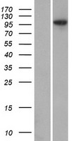 ANKMY1 Protein - Western validation with an anti-DDK antibody * L: Control HEK293 lysate R: Over-expression lysate